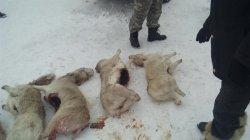 Қызылордалық полицейлер 18 ақбөкенді атып алған аңшыларды қолға түсті