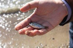 Кіші Арал теңізіне 8 млн.-нан астам тұқы шабағы жіберілді
